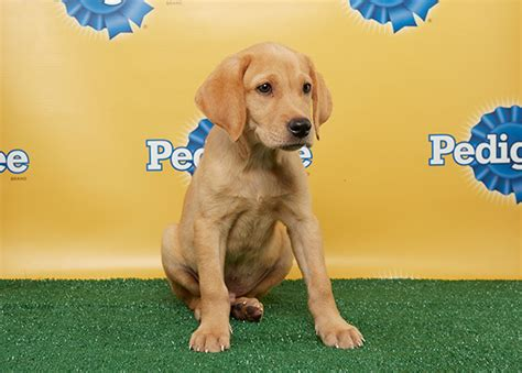 lab terrier mix puppies puppy bowl x white house workout with bo and tvruckus