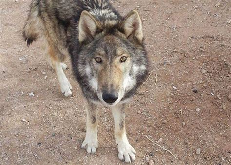 a wolf arizona accidentally adopted a wolf pup