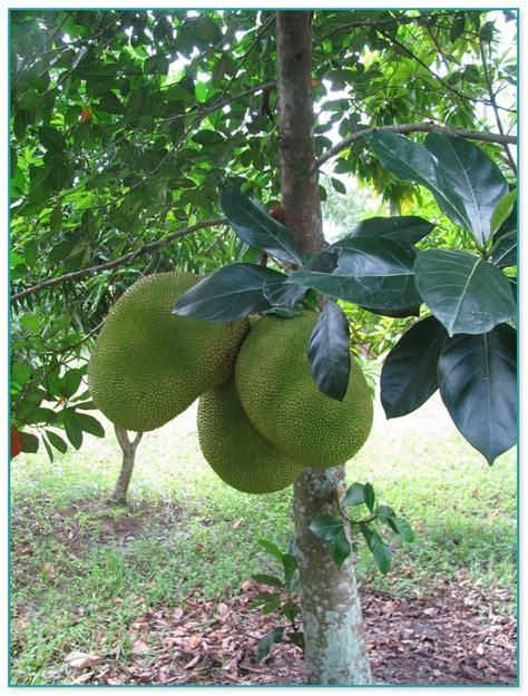 fruit trees for sale fruit trees for sale in florida