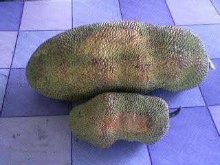 Alpukat Mentega Lokal 1 Kg bibit buah bunton malang macam macam buah buahan lainnya
