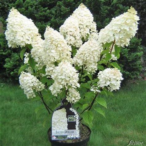 Www Garten Schlüter De by Rispenhortensie Silver Dollar 174 Garten Schl 252 Ter Auf Blumen De Kaufen