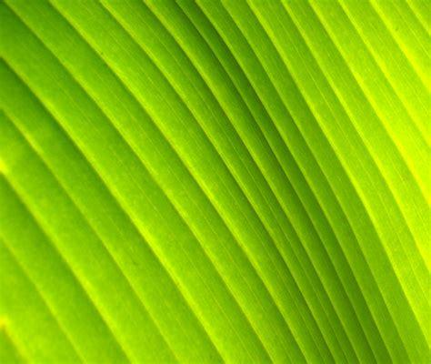 Kb Softlens New Glitter Soft Lens Glitter New Gliter banana leaf 3 photos 1177417 freeimages