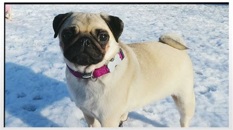 pug s pugs in the snow