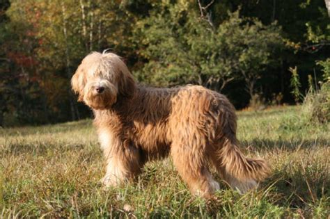 goldendoodle puppies for sale in vermont morningshine goldendoodles of vermont