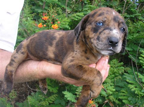 catahoula cur puppies catahoula dogs for sale breeds picture