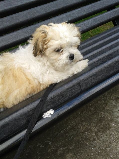 3 month shih tzu hyper 3 month shih tzu newcastle upon tyne tyne and wear pets4homes