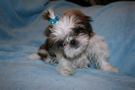 teacup puppies shih tzu shih tzu for sale ads free classifieds