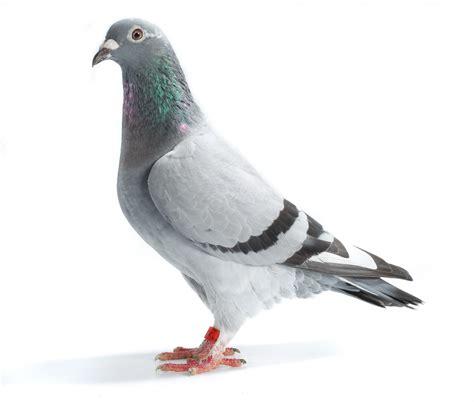image gallery homing pigeons