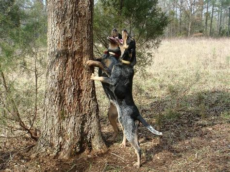 how to a coon to tree a raccoon the bluetick coonhound was bred in the 20th century united states specifically to tree