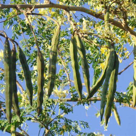 drumstick moringa oleifera plant nursery
