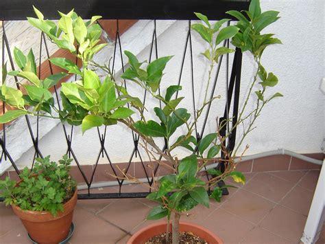 come si coltiva il limone in vaso quarant anni in vaso flora 2000