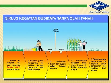 Benih Jagung Bisi 16 presentasi budidaya jagung bisi 12
