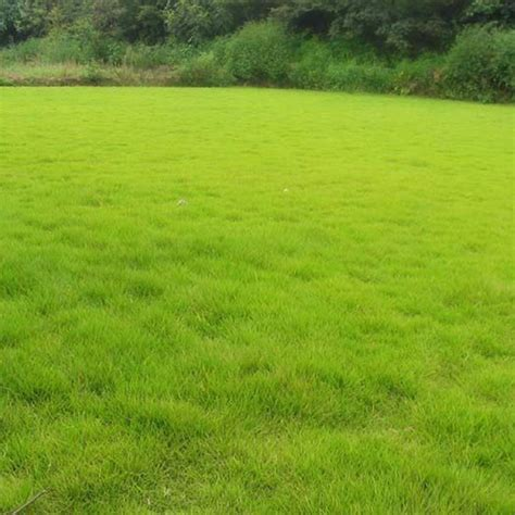 Grass Seed by 10000pcs Fescue Grass Seed Festuca Arundinacea Lawn