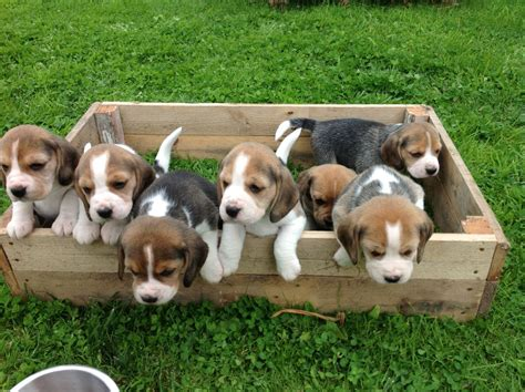 puppies for sale in beagle puppies for sale lancashire pets4homes