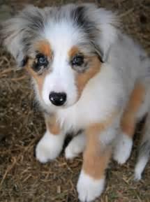 Cute australian shepherd aussie puppies photos cute puppies