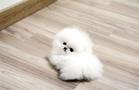 small white pomeranian puppies 10 cutest small white breeds me and my pet