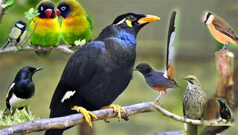 Wb Asli 100 dunia burung kicau