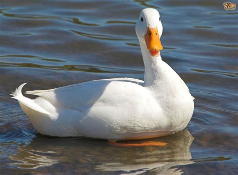 duck images 5 duck breeds that are great to keep in the garden