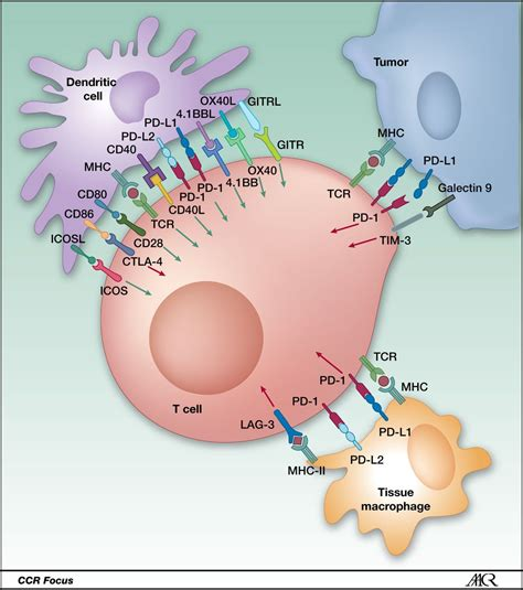 Ctla 4 And Pd 1 Pd L1 Blockade New Immunotherapeutic Modalities With Durable Clinical Benefit