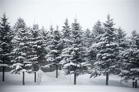 snow covered christmas trees photo of winter trees free images