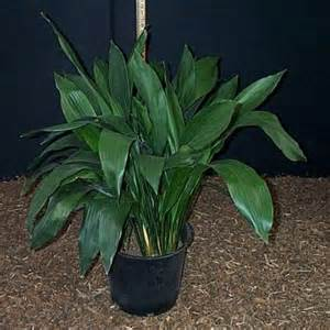 Iron Plant 10 Best Low Light Houseplants That Are Easy To Grow The