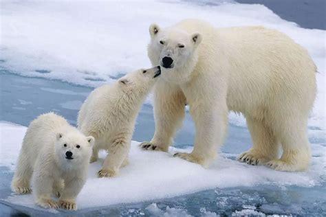 imagenes animales polares osos polares tienen problemas para cazar focas por escasez