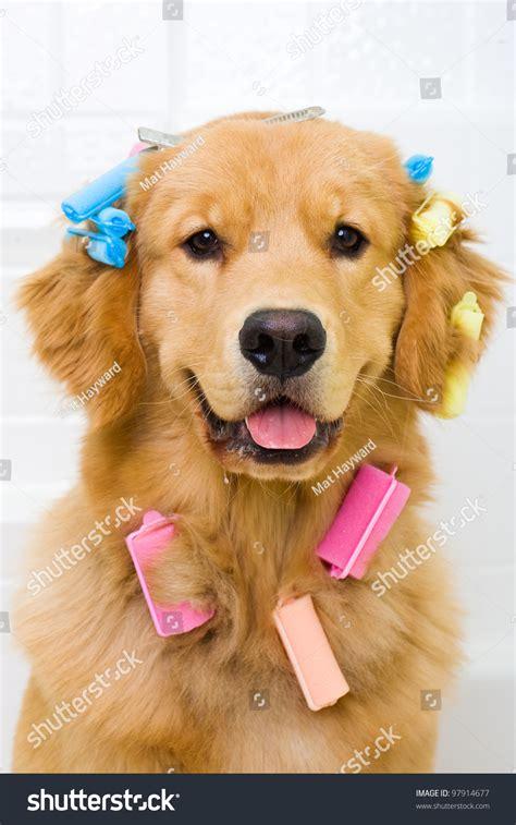 do golden retrievers hair or fur a photograph of a golden retriever sitting in a bath tub with colorful hair