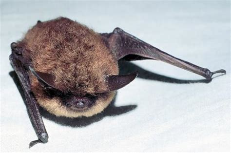 animal a day little brown bat