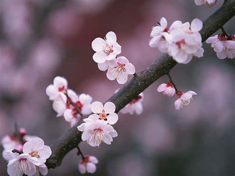 Another Time Another World Sakura Brings Hopes For Japan Japanese Cherry Blossom Flower