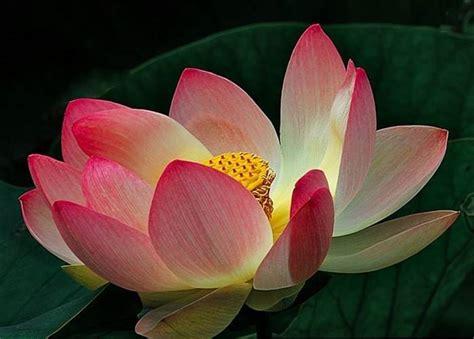 ninfea fiore ninfea significato significato fiori significato dei