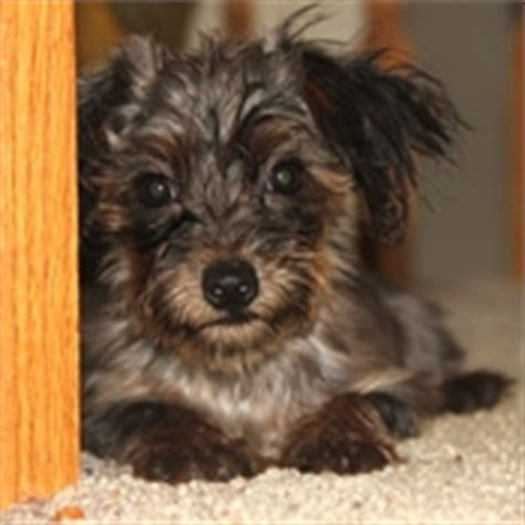 black yorkie poo images yorkie poo puppies images black and gold yorkie poo photo 24813633