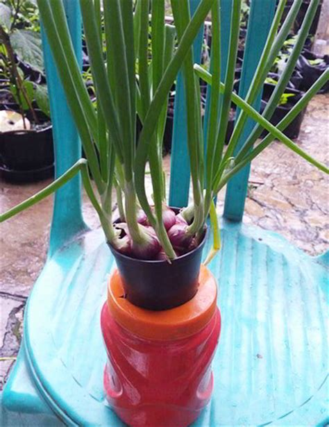 cara membuat pupuk zpt dari bawang merah 7 tahap mudah cara menanam bawang merah hidroponik sederhana
