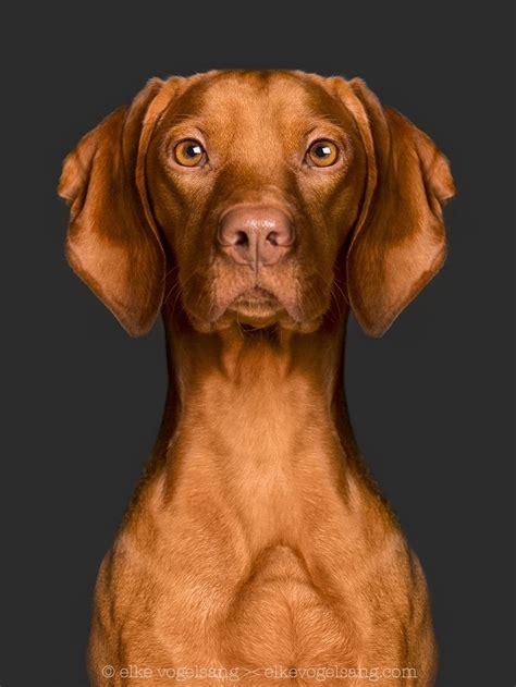 dogs 101 vizsla 1000 ideas about hungarian vizsla on vizsla happy dogs and vizsla