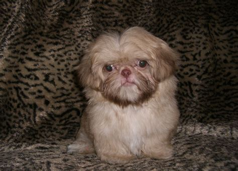 small shih tzu pin tiny imperial shih tzu and teacup shihtzu puppies for