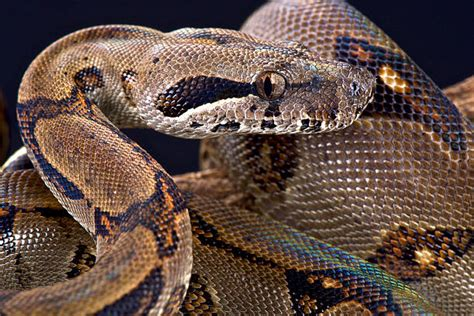 boa constrictor stock  pictures royalty
