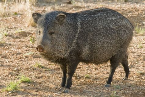 Javelina Hunting | 60+ Species Available for Hunt | OX ...
