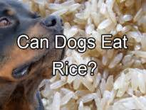 can puppies eat rice can dogs eat plums pethority dogs