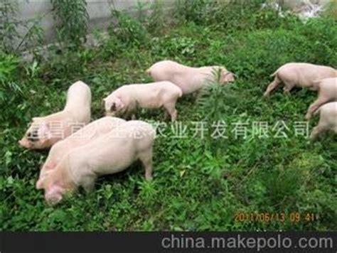 农家土猪图片分享有源链接猪肉回头率请发起,梅山猪