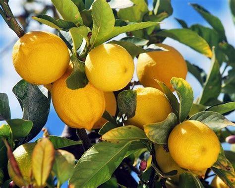 concimazione agrumi in vaso agrumi citrus citrus frutteto agrumi citrus