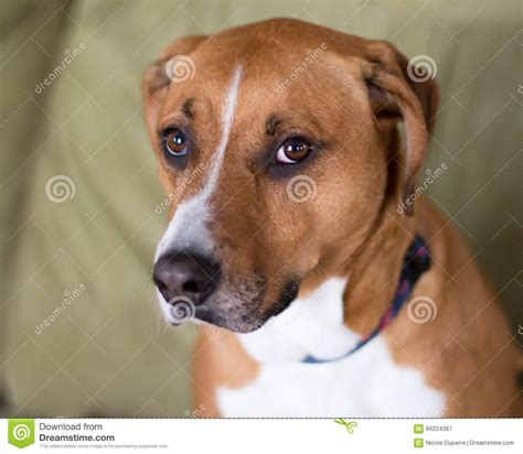 boxer hound mix puppies coon hound boxer mix stock image image of part photograph 66224367