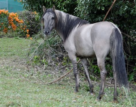 pictures mustang horse with smoke 1000 images about breed spanish colonial horse on