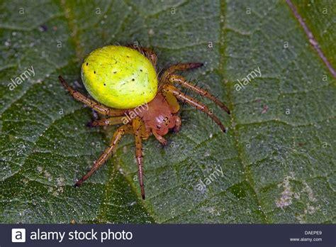 pumpkin spider gourd spider pumpkin spider araniella cucurbitina oder