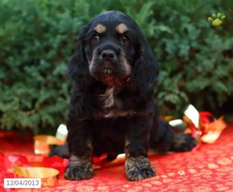 puppy mills in lancaster pa cocker spaniel puppy for sale in lancaster pa lancaster pa is the epicenter for