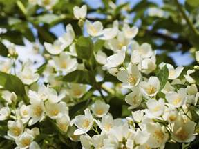 which plant is most fragrant choosing fragrant plants for your garden saga