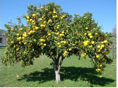 citrus fruit tree picture of citrus paradisi tree jpg