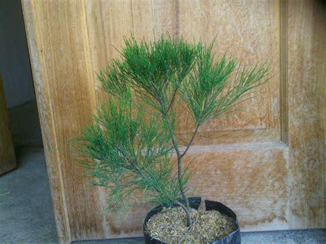 Batu Gambar Cemara Udang jenis pohon cemara dan harga bibit pohon cemara bibit