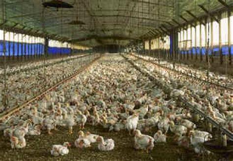 galline allevate in gabbia conosci le tue uova