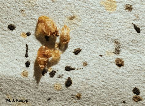 bed bugs black spots ectoparasites go to school bed bugs in dc cimex