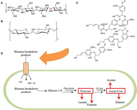 a protein is a linear polymer composed of frontiers the emergence of clostridium thermocellum as a