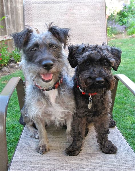 schnauzer poodle lifespan 17 best images about schnoodle on who goes
